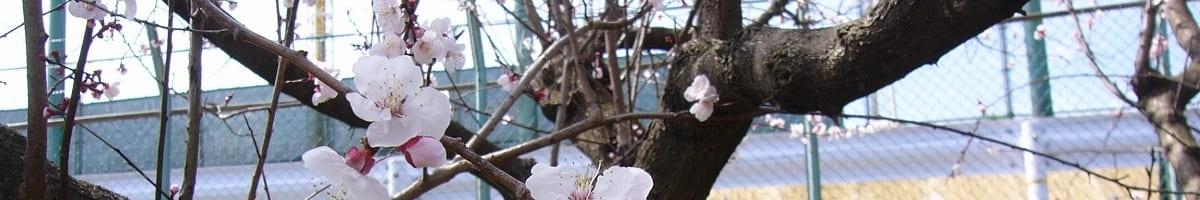 生田の梅の写真