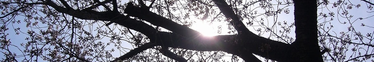 二ヶ領用水沿いの桜の写真